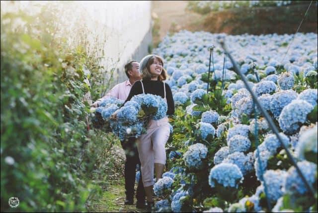 Hoa Cẩm Tú Cầu đẹp mộng mơ ở Đà Lạt