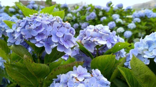 Vẻ đẹp hoa Cẩm Tú Cầu Đà Lạt