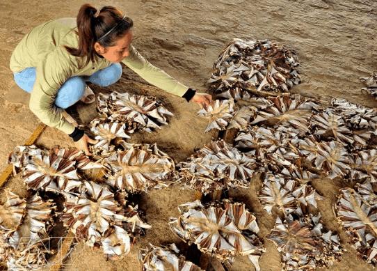 Người nông dân phơi cá đuối khô