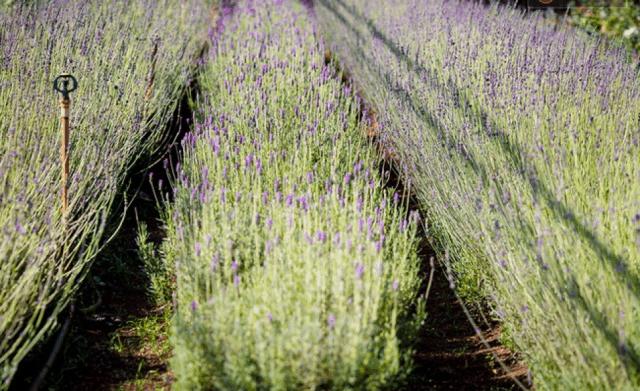Vườn hoa oải hương ở làng hoa Vạn Thành