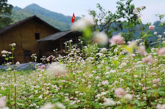 Chiêm ngưỡng Hà Giang mùa hoa tam giác mạch