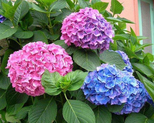 Hoa cẩm tú cầu ở Đà Lạt