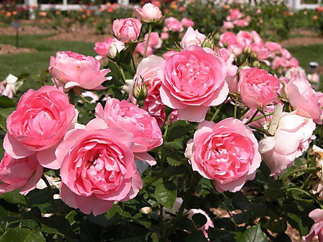 Hoa hồng ở Đà Lạt