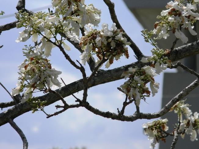 Cây phượng trắng thu hút du khách tại điểm du lịch Đà Lạt