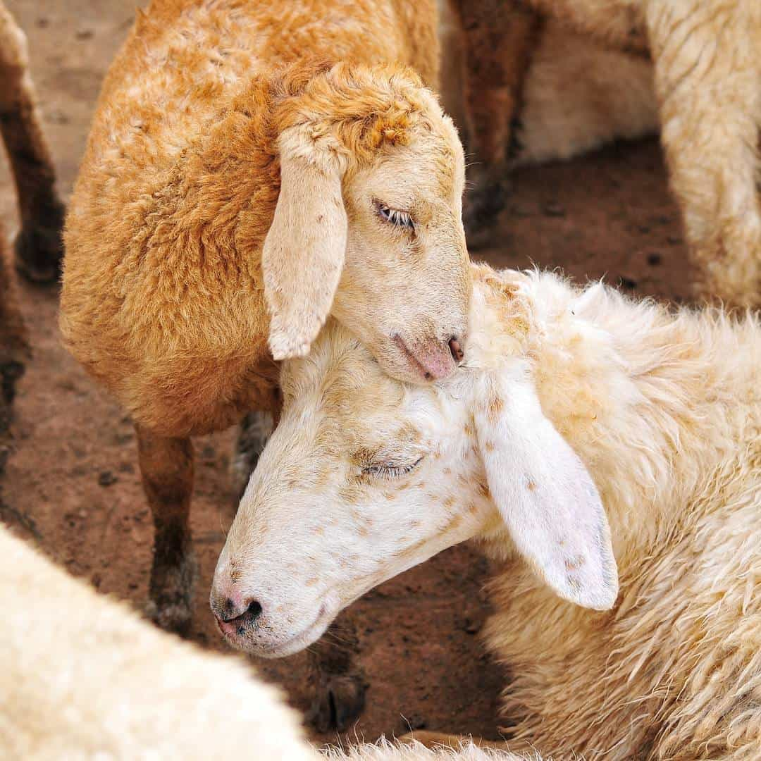 Những con cừu rất ngoan và hiền nhé. Ảnh: @maithy.nguyen