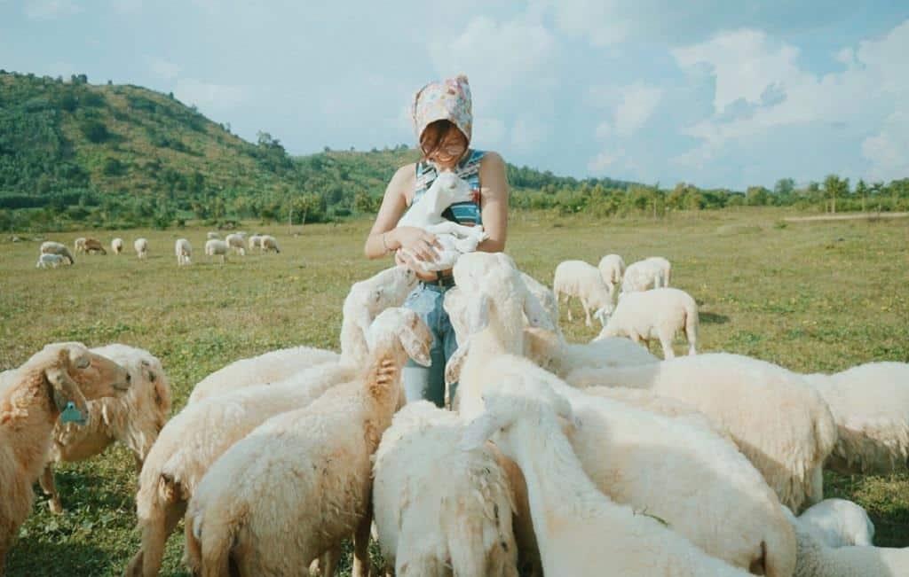 Những chú cừu siêu dễ thương và khá cuốn người. Ảnh: Hà Tý