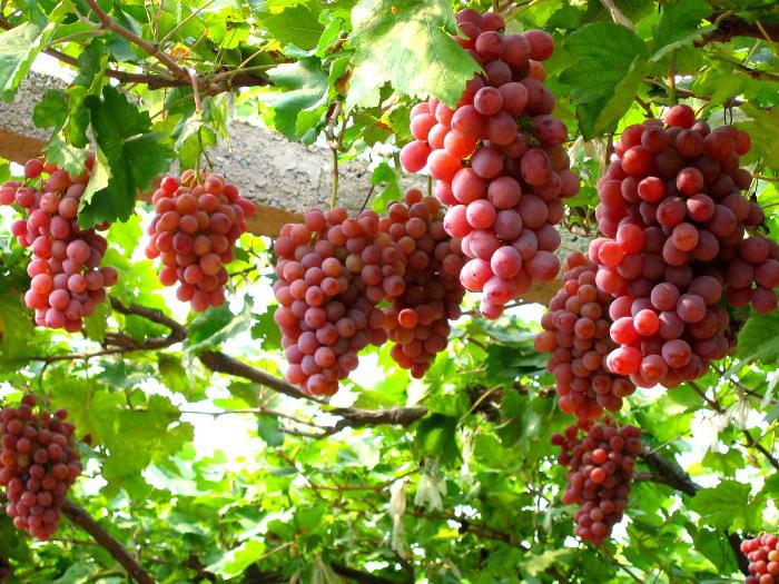 Rượu nho Phan Rang –mang trọn tâm tình của vùng nắng gió - Vntrip.vn