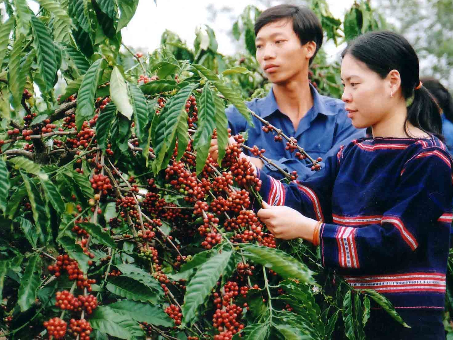 Thu hoạch cà phê - đặc sản Buôn Mê Thuột