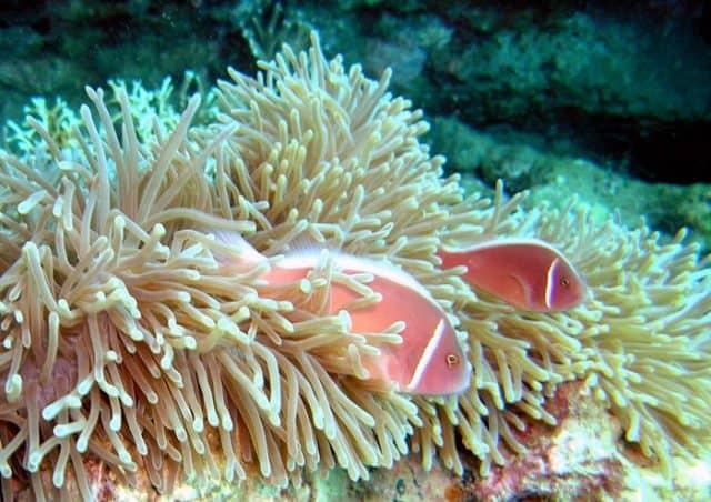 Cù Lao Xanh với loại san hô độc đáo