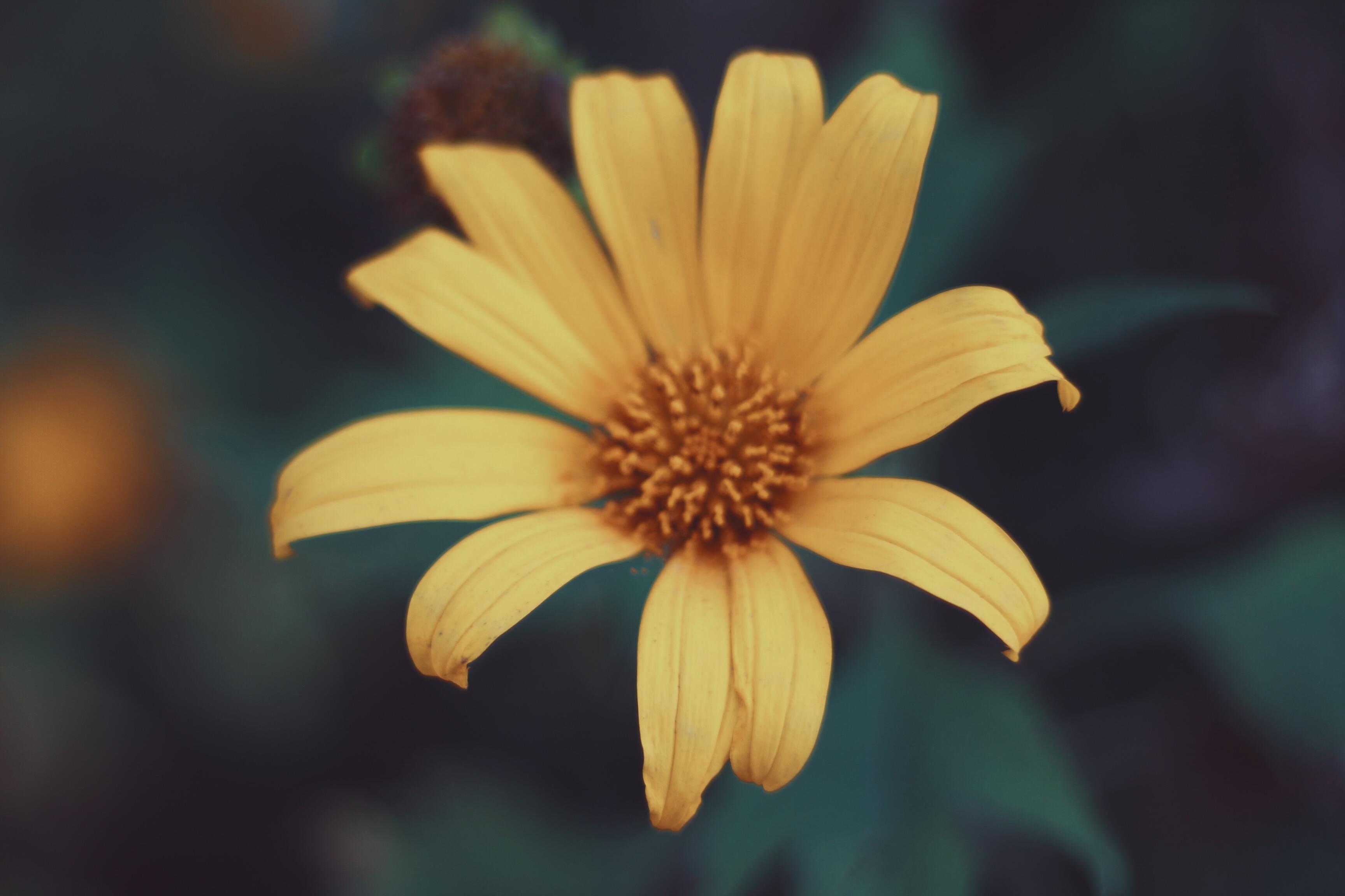 hoa dã quỳ ba vì