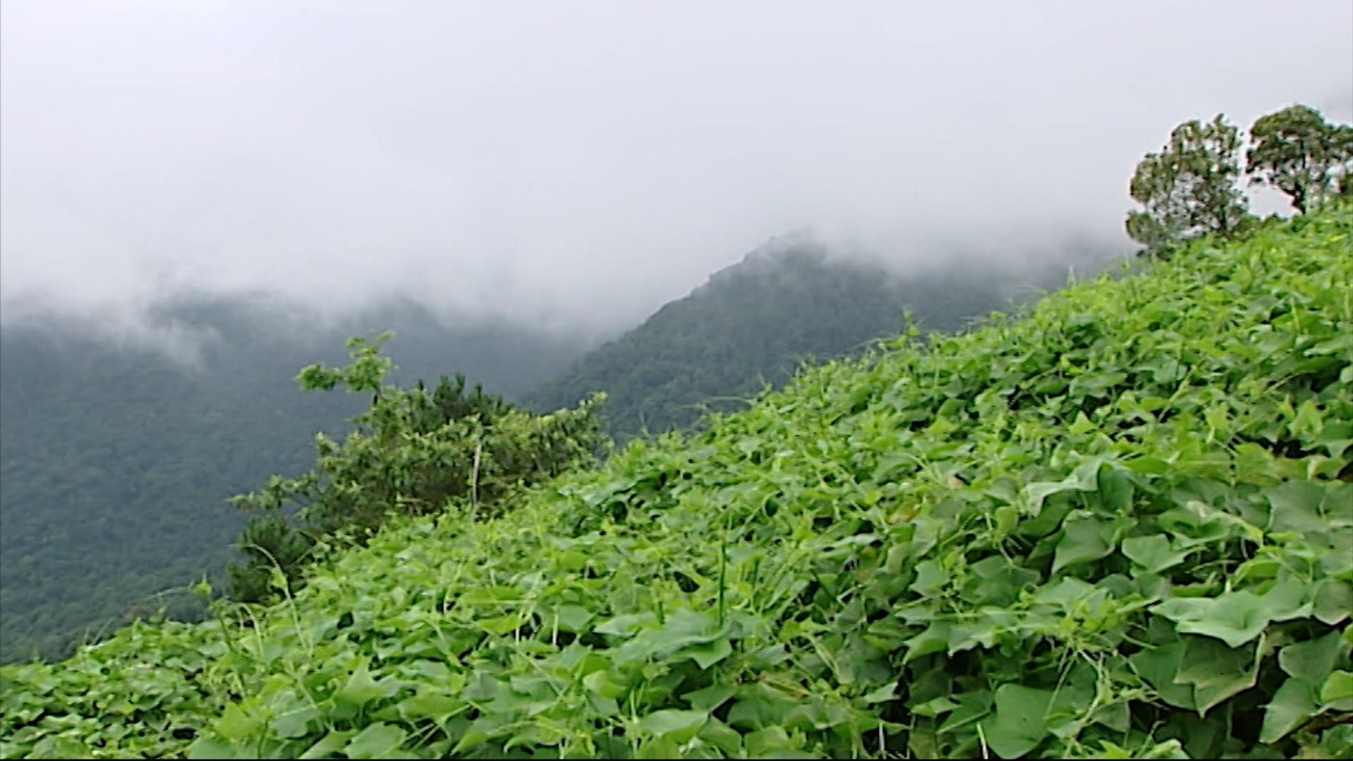 su su - đặc sản Tam Đảo