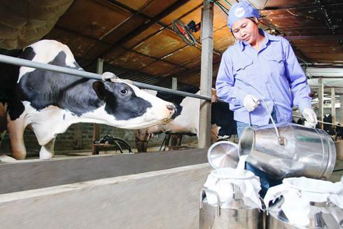 Sữa tươi Ba Vì-Du lịch Ba Vì 2 ngày 1 đêm