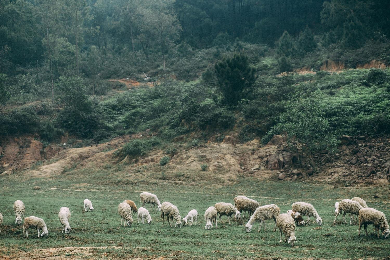địa điểm du lịch nghệ an: cánh đồng nuôi cừu