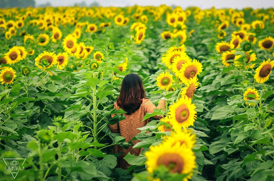 địa điểm du lịch nghệ an: cánh đồng hoa hướng dương