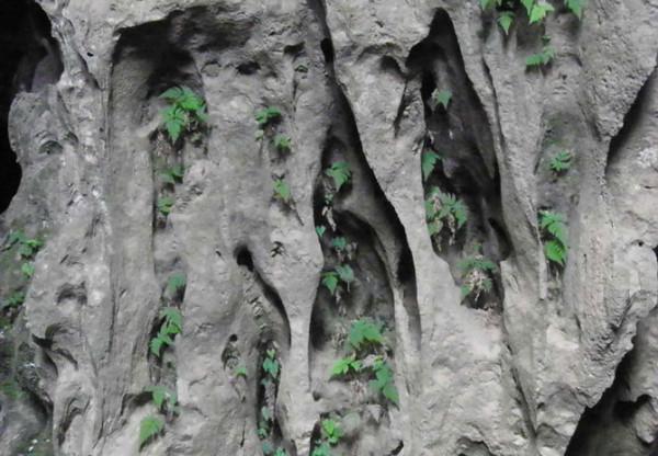 Dương xỉ di cư từ ngoài vào mọc trên thạch nhũ ở Hang Tối