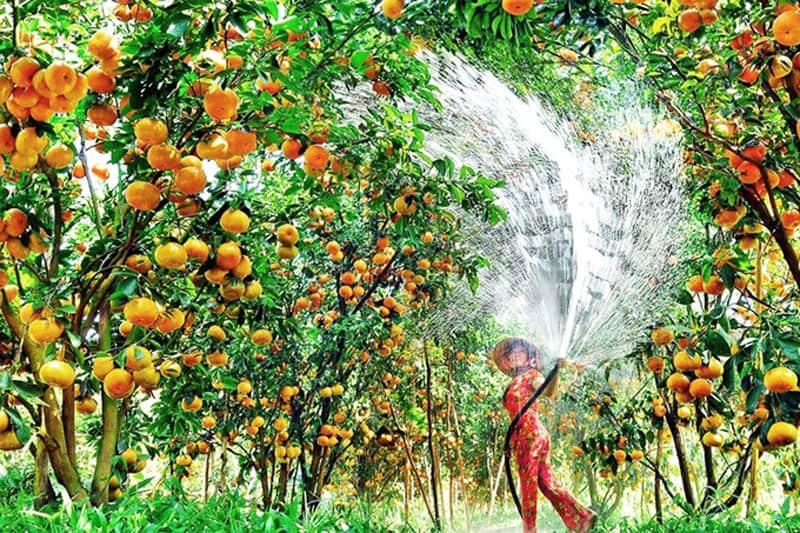 Chủ các miệt vườn trái cây (Nguồn sưu tầm)