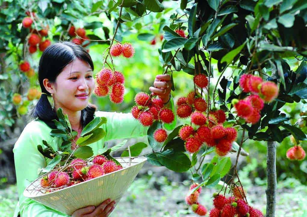 Du khách hái trái cây (Nguồn sưu tầm)