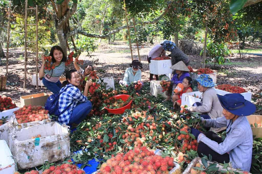 Du khách được ăn trái cây ngại tại vườn trái cây (Ảnh: ST)