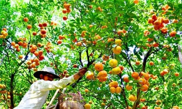 Khu vườn trái cây tươi ngon nổi tiếng nhất nhì Tây Ninh (Ảnh: ST)