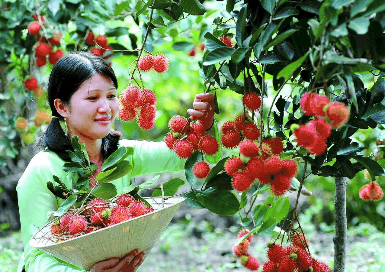 Du khách được tự tay hái hoa quả tại khu du lịch vườn trái(Ảnh: ST)