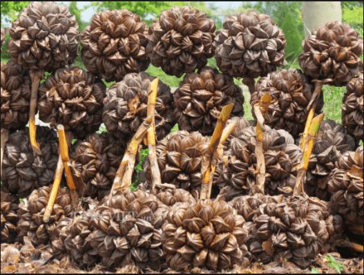 Dừa nước Cần Giờ