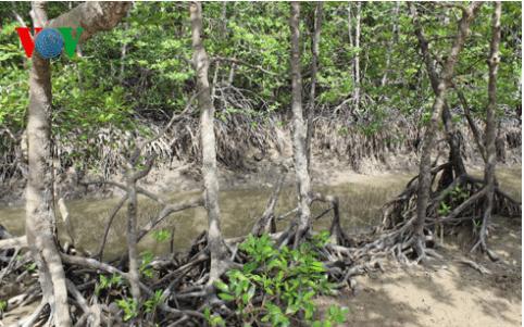 Rừng ngập mặn tại đảo Khỉ