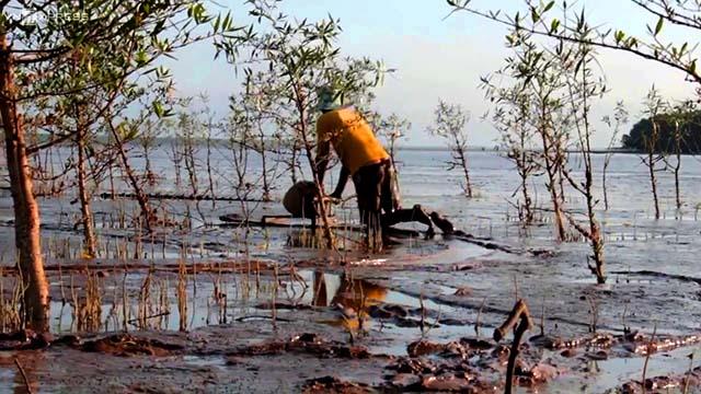 Cá lóc thường sinh sống ở vùng đầm lầy (Ảnh: ST)