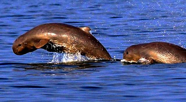 Cá nược có hình dáng gần giống cá heo (Ảnh: ST)