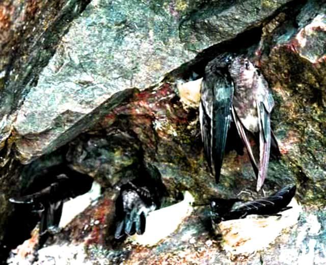 Chim biển làm tổ (Ảnh: ST)