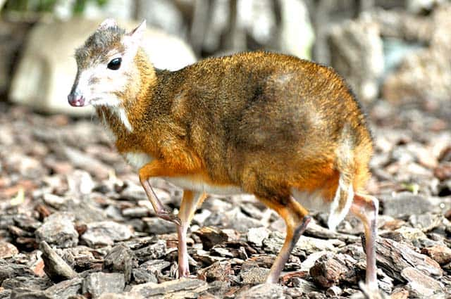 Loài chuột hươu (Ảnh: ST)