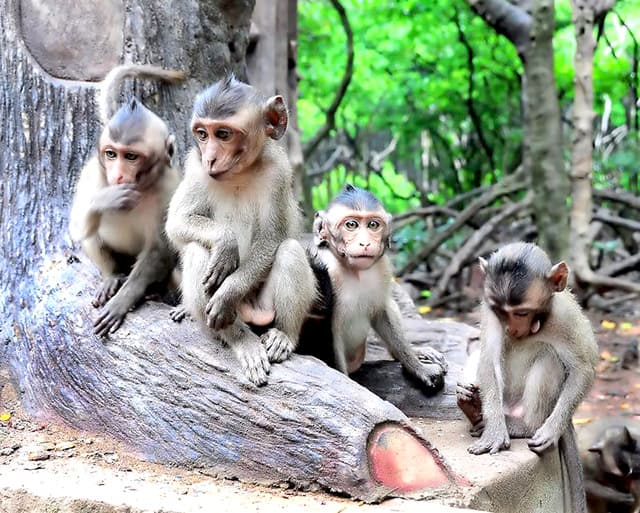 Khỉ lông vàng có tư chất thông minh (Ảnh: ST)