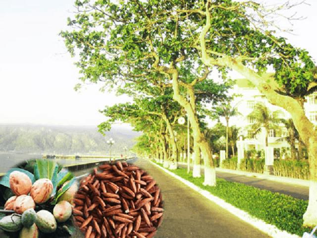 Mùi thơm của hạt bàng sau khi rang xong, vị ngọt ngọt bùi bùi của hạt bàng chắc chắn sẽ khiến du khách nhớ mãi nét đặc trưng của Côn Đảo (Ảnh sưu tầm)