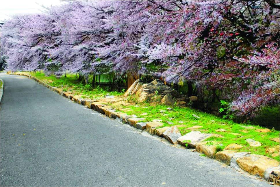 Chiêm ngưỡng vườn hoa Anh Đào Nhật tại Hồ Mây