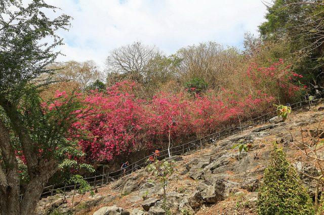 Lối đi bên ngoài ven khu núi Đá Dựng thơ mộng với hàng cây bông giấy (Ảnh sưu tầm)