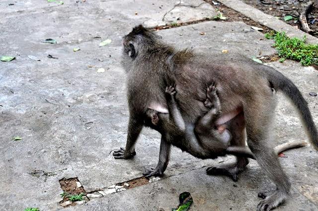 Khỉ mẹ địu con (Ảnh: ST)