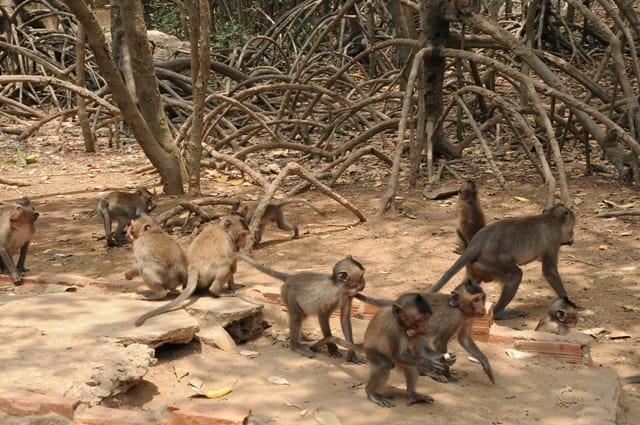 Khỉ là loài sống theo bầy đàn của đảo khỉ ở Cần Giờ(Ảnh: ST)