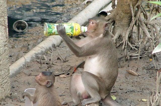 Khỉ Cần Giờ rất dạn người (Ảnh: ST)