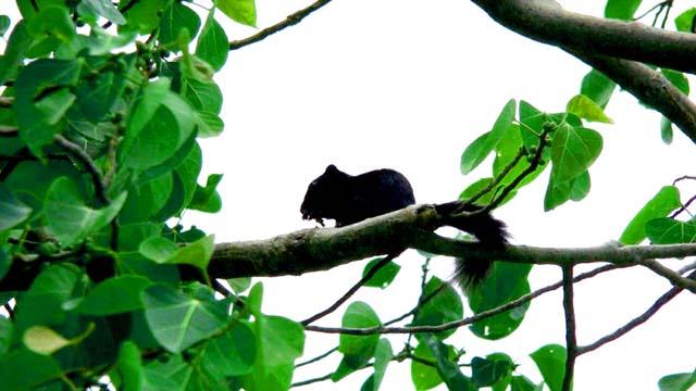 Sóc đen ở Côn Đảo (Ảnh: ST)