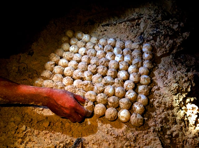 Nhân viên khu bảo tồn gom trứng về cho vào lồng ấp (Ảnh: ST)