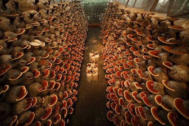 Nhà trồng nấm tại nông trại xanh ở Củ Chi(Ảnh: Sưu tầm)
