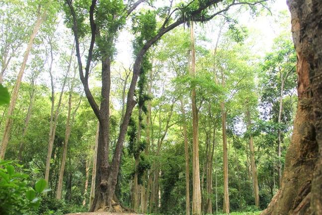 Rừng săng lẻ quanh năm rợp bóng mát tại Vườn quốc gia Pù Mát