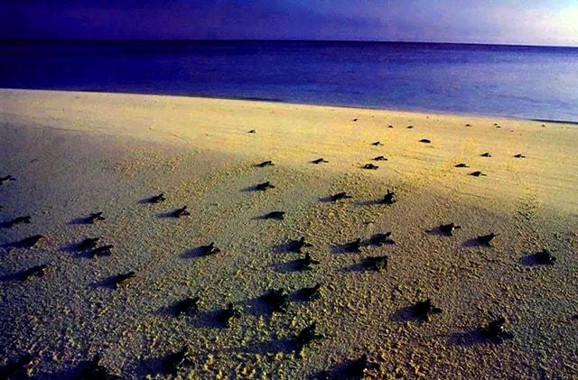 Tranh thủ bò ra biển lúc mặt trời chưa lên cao (Ảnh: ST)