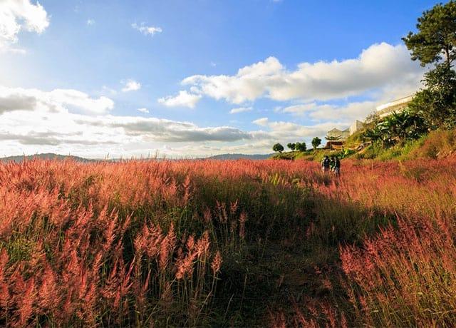 Đồi cỏ hồng dưới nắng ban mai