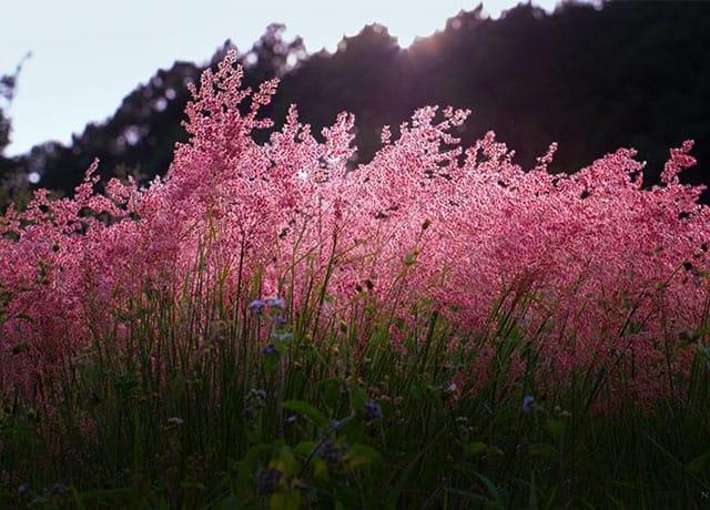 Đồi cỏ hồng Đà Lạt mọc ven thung lũng