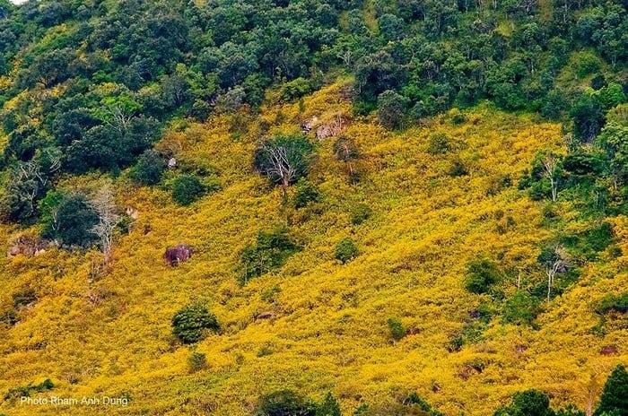 Sắc vàng hoa Dã quỳ phủ kín cả sườn núi