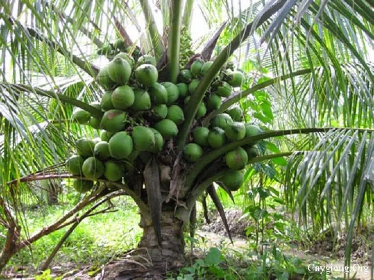 Tuy thấp nhưng cây dừa ở Bãi Dừa – Tư Nghĩa lại khá sai quả. (Ảnh ST)