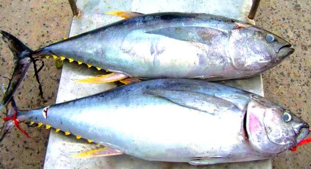 Cá Ngừ - đảo Cồn Cỏ