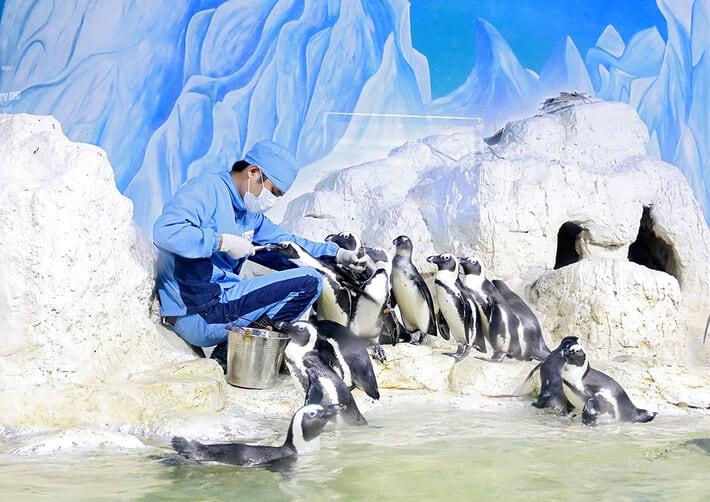 Những chú chim cánh cụt đang được nhân viên chăm sóc