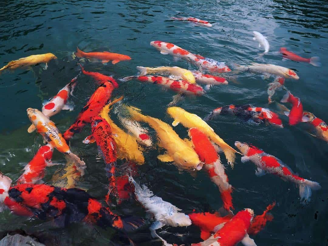 Loài cá Koi, cá chép đặc trưng của Nhật Bản