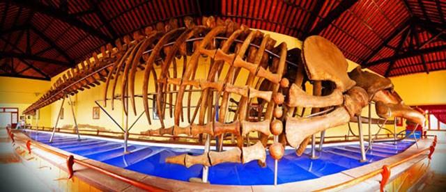 Bộ xương cá voi lớn được người dân dựng lại